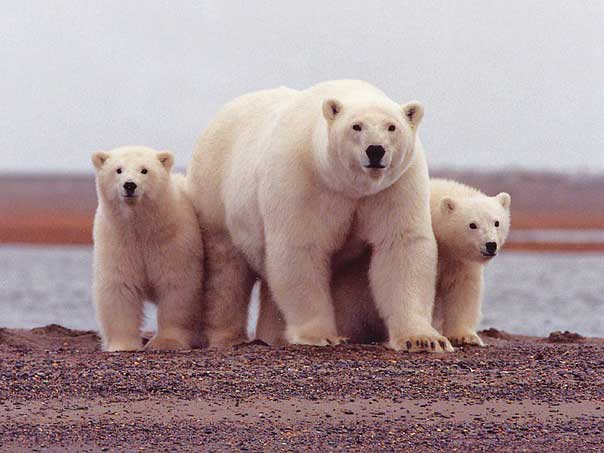 Mom Polar bear and her cubs