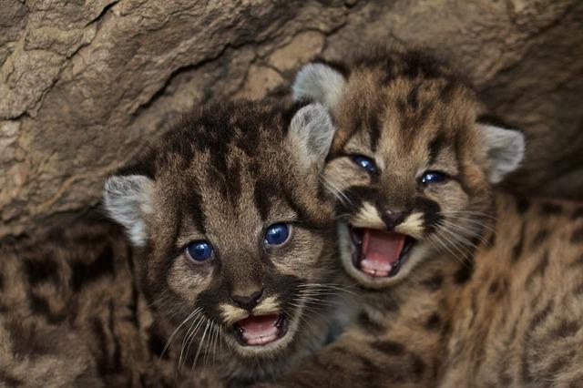 Mountain Lion Kitts